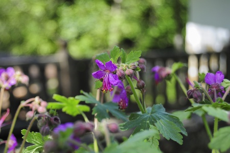 Blooming bulgarian geranium in garden Stock Photo