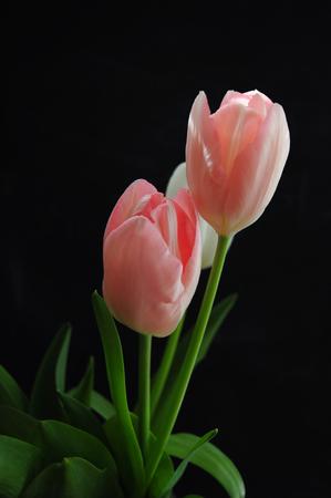 Pink tuplips on black background Standard-Bild