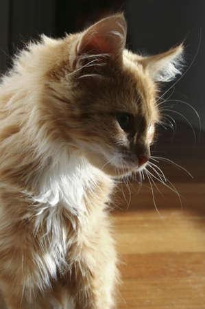 Sillohuette of a ginger cat