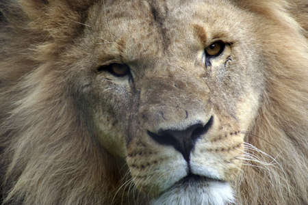 Lion up close and personal