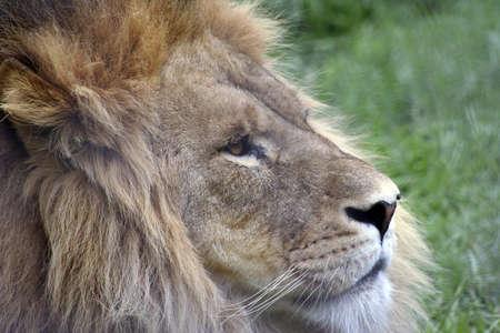 Lion side profile