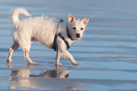 Wet dog running on beach with leash  Stock Photo - 26279058