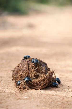 dung: Dung beetles pushing a ball of dung
