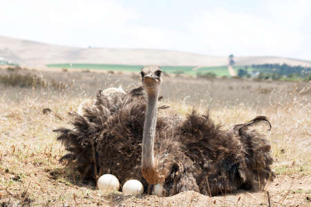 incubate: Adult ostrich breeding on eggs in the field