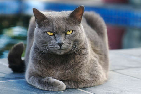 cat eyes: Gray cat lying and looking into the camera