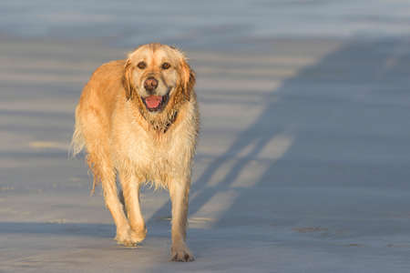 k9: young labrador dog on the beach in late afternoon