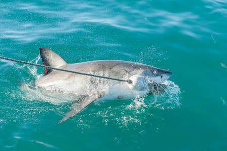 chum: Endangered great white Shark attaching bait or chum