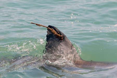 dorsal: great white shark dorsal fin with radio tag