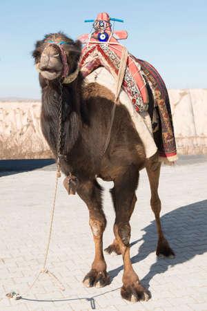 saddle camel: camel with traditional colorful decoration and saddle