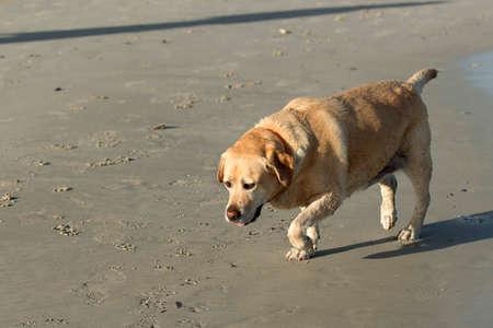 old fat labrador dog walking on the beach photo