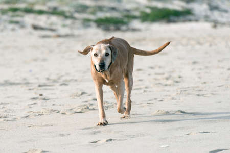 Old cross breed brown dog on the beach photo