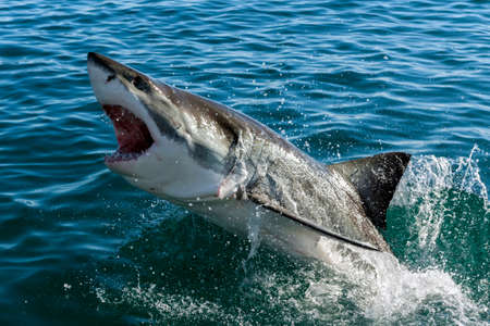 shark teeth: Endangered great white Shark Stock Photo