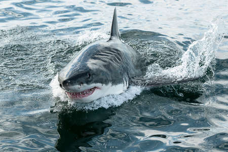 Endangered great white Shark breaching the water in the ocean
