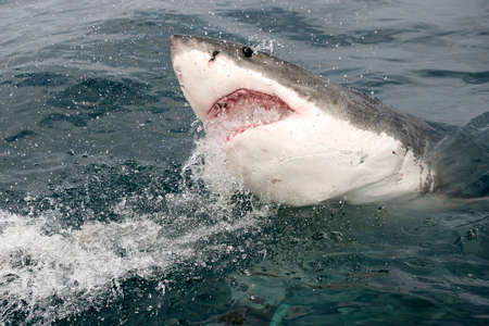 white shark: Endangered great white Shark being chummed for cage diving with a yellow tail fish head