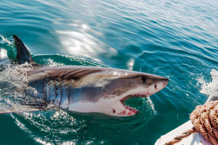 breaching: Endangered great white Shark Stock Photo
