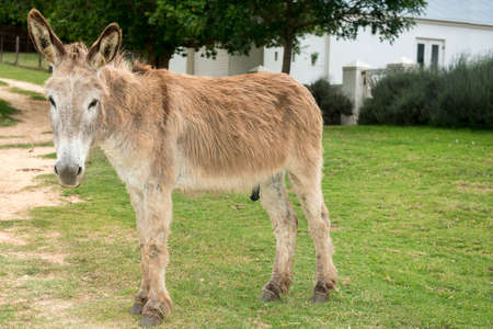 jack ass: Male Donkey with long ears standing