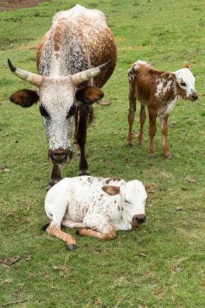 indigenous: Nuguni Cattle in the veld on the ranch Indigenous to South Africa