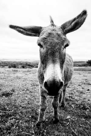 jack ass: full body photo of a donkey standing facing the camera with his ears wide apart, in black and white