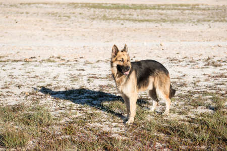 german shepard: Adult male German Shepard dog standing on the beach on the sand looking away from the camera