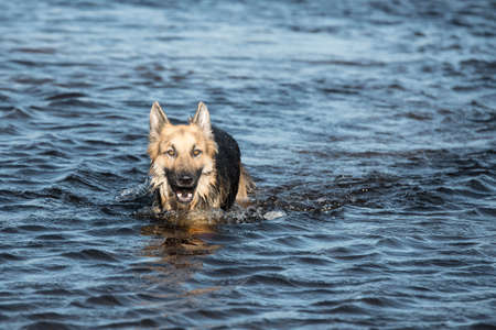 german shepard: Adult male German Shepherd dog running after a ball and playing in the water