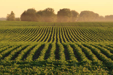 soybean: Soybean rows at dusk