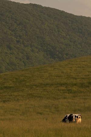 Een eenzame koe schaafwonden in een weide met een achtergrond van bergen