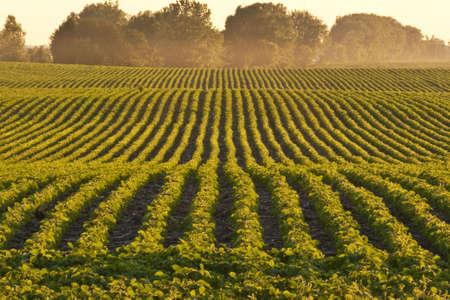soja: Lignes de soja au cr�puscule Banque d'images