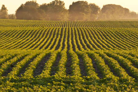 iowa: Soybean rows at dusk