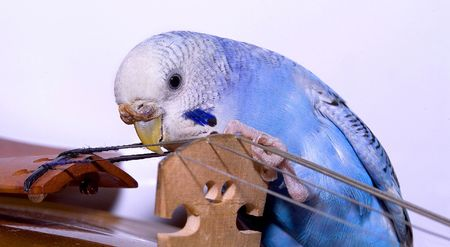 budgie: Parrot & Violin Stock Photo