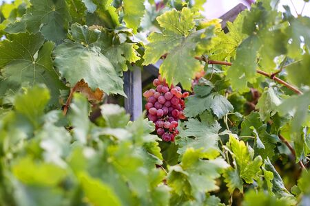 Close-up of a bunch of red maroon grapes growing hanging among the leaves. Vineyard, vine 免版税图像