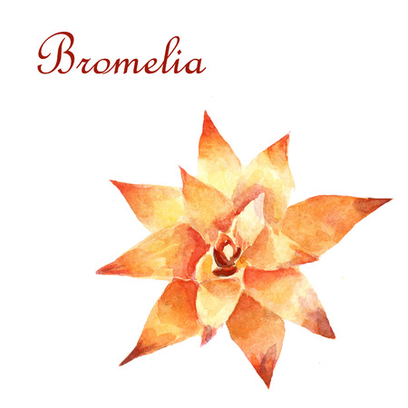 Watercolor bright Bromelia isolated on a white background