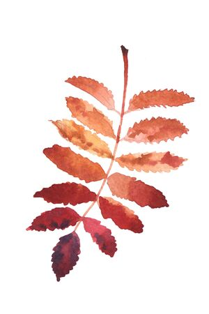 Watercolor hand-painted Rowan leaf isolated on a white background Imagens - 133204745