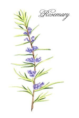 Pianta di rosmarino disegnata a mano dell'acquerello isolata su un fondo bianco