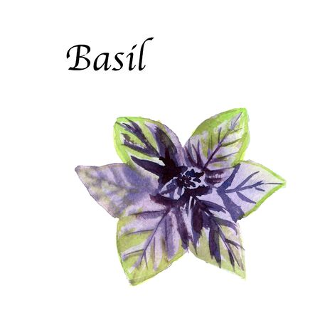 Watercolor botanic illustration with Basil on white background. Hand drawn food collection with seasonings, herbs and vegetables. Perfect for culinary books, magazines, textiles.