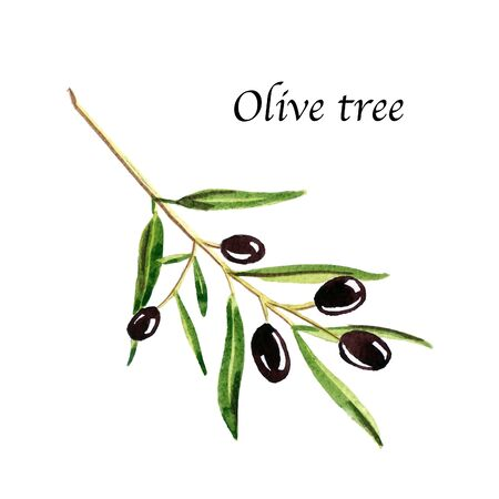 Watercolor botanic illustration with olive tree on white background. Hand drawn food collection with seasonings, herbs and vegetables. Perfect for culinary books, magazines, textiles.