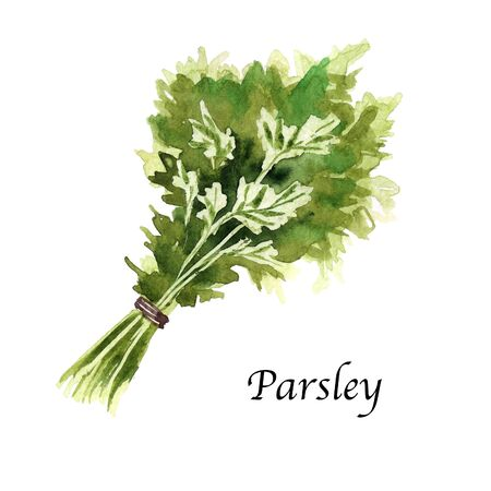 Watercolor botanic illustration with parsley on white background. Hand drawn food collection with seasonings, herbs and vegetables. Perfect for culinary books, magazines, textiles.