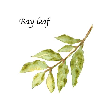 Watercolor botanic illustration with bay leaf on white background. Hand drawn food collection with seasonings, herbs and vegetables. Perfect for culinary books, magazines, textiles.