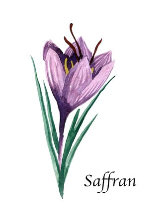 Watercolor botanic illustration with Saffron on white background. Hand drawn food collection with seasonings, herbs and vegetables. Perfect for culinary books, magazines, textiles.