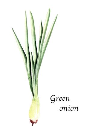 Watercolor botanic illustration with green onion on white background. Hand drawn food collection with seasonings, herbs and vegetables. Perfect for culinary books, magazines, textiles. Archivio Fotografico
