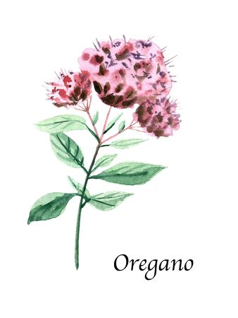 Watercolor botanic illustration with Oregano on white background. Hand drawn food collection with seasonings, herbs and vegetables. Perfect for culinary books, magazines, textiles.