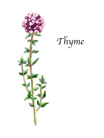 Watercolor botanic illustration with Thyme on white background. Hand drawn food collection with seasonings, herbs and vegetables. Perfect for culinary books, magazines, textiles.