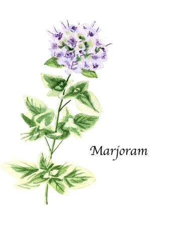 Watercolor botanic illustration with Marjoram on white background. Hand drawn food collection with seasonings, herbs and vegetables. Perfect for culinary books, magazines, textiles.
