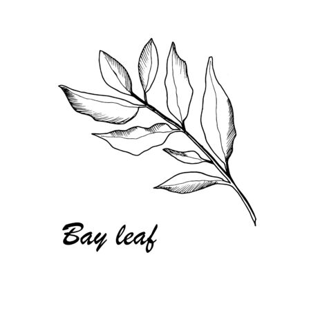 Vector botanic illustration with bay leaf on white background. Hand drawn food collection with seasonings, herbs and vegetables. Perfect for culinary books, magazines, textiles. Ilustracje wektorowe