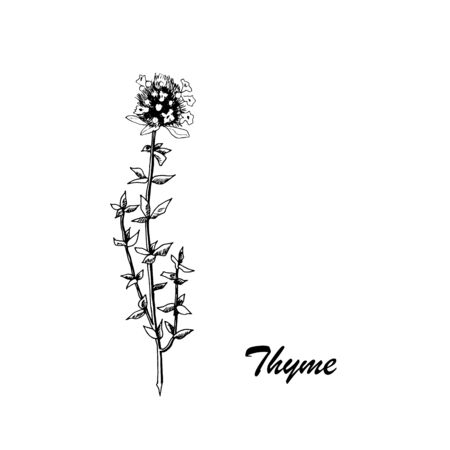 Vector botanic illustration with thyme on white background. Hand drawn food collection with seasonings, herbs and vegetables. Perfect for culinary books, magazines, textiles.