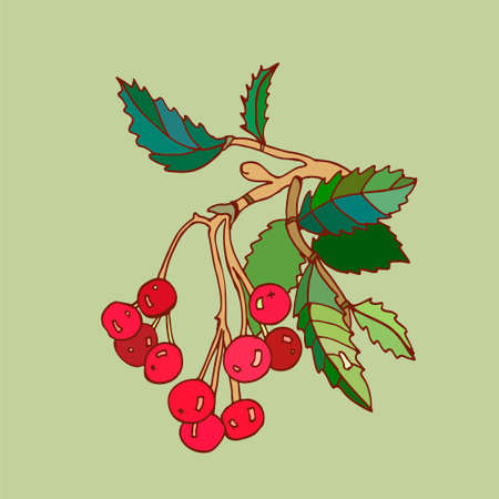 rowanberry: sprig of rowanberry vector illustration