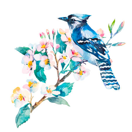 blue jay bird: Illustration for your design and work. Watercolor. Stock Photo