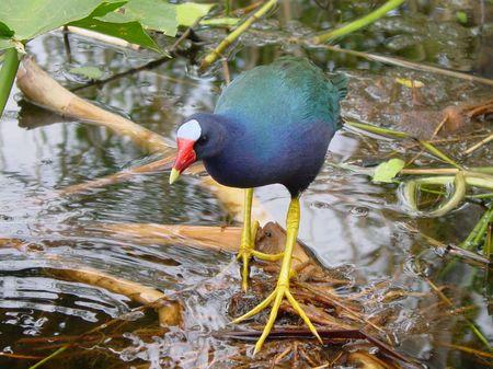 Everglade Bird Stock Photo