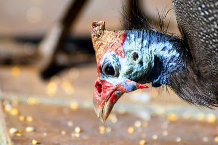 stash: This Guinea fowl birds lucky day at finding the stash of golden corn