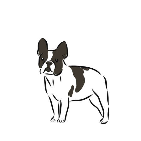 Colorful vector Illustration of the dog breed French bulldog isolated on white background