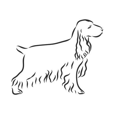 English Cocker Spaniel dog. Hand drawn. Vector illustration